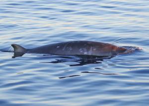 ballena picuda